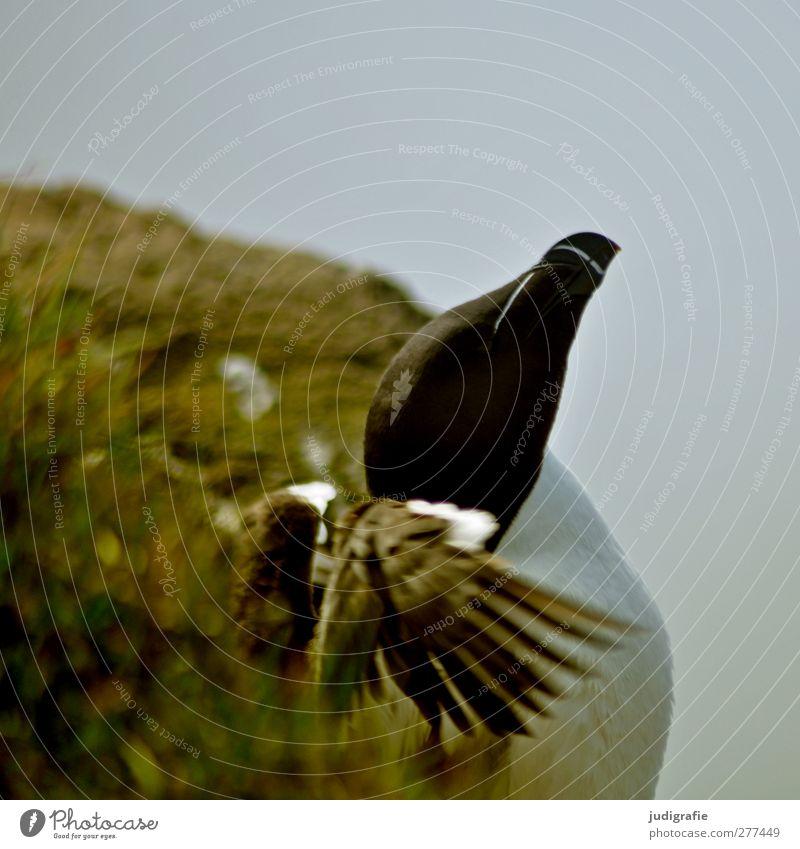 Island Umwelt Natur Landschaft Pflanze Tier Wildtier Vogel tordalk 1 natürlich wild Leben Flügel Schnabel flattern Farbfoto Außenaufnahme Tierporträt Profil