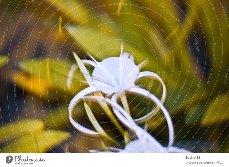 Malaysia Flower Natur grün weiß Sommer Pflanze Blume Erholung Umwelt Blüte träumen authentisch leuchten ästhetisch Schönes Wetter Warmherzigkeit beobachten