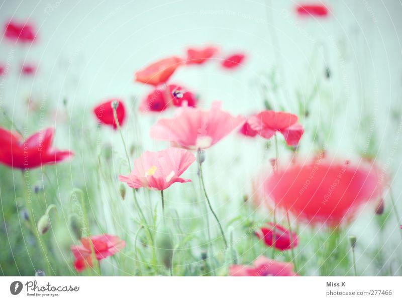 sanft Pflanze Frühling Sommer Blume Blatt Blüte Garten Wiese Blühend Duft rot Mohn Mohnblüte Mohnfeld Farbfoto Außenaufnahme Menschenleer Hintergrund neutral