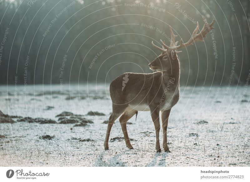 Hirsch bei Sonnenaufgang in Winterlandschaft Umwelt Natur Landschaft Herbst Wiese Feld Wald Deutschland Tier Wildtier Hirsche 1 Jagd ästhetisch bedrohlich braun