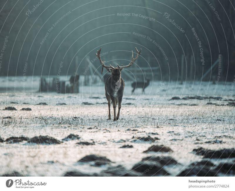 Hirsch bei Sonnenaufgang in Winterlandschaft Abenteuer Freiheit Winterurlaub Landschaft Pflanze Tier Erde Sonnenuntergang Herbst Wiese Feld Wald Wildtier