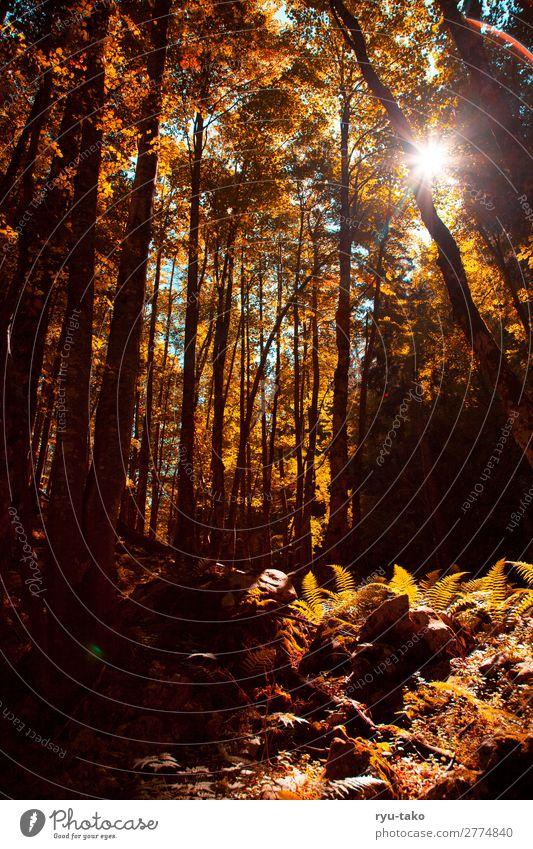 Ein Waldbild Warmes Licht wandern Stimmung Sommer Bäume Sonnenlicht Sonnenstrahlen warm Farn gemütlich Gegenlicht inmitten