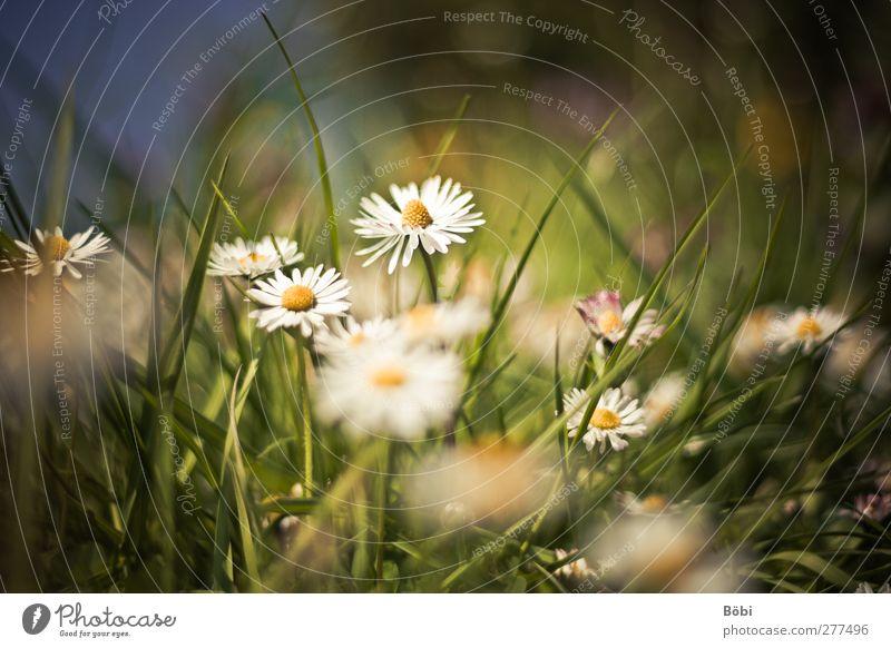 Lieblingsblümchen Umwelt Natur Pflanze Tier Blume Blüte Wildpflanze Gänseblümchen Wiese schön Unschärfe Farbfoto Außenaufnahme Textfreiraum oben Tag