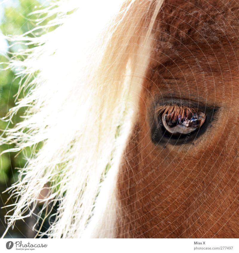 Pony-Pony Tier Auge Haare & Frisuren blond Pferd Fell Ponys Nutztier