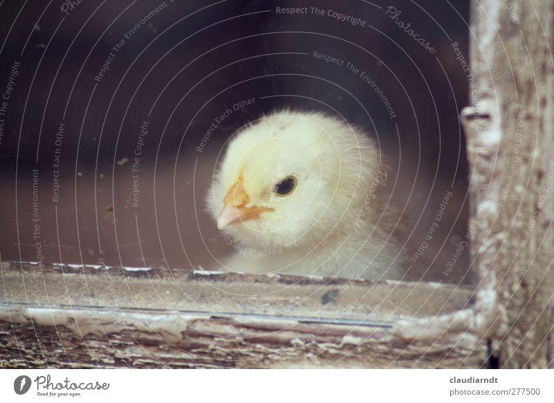 Die Welt da draußen schön Einsamkeit Tier gelb klein Tierjunges Vogel niedlich weich Tiergesicht Zoo Fensterscheibe Schnabel Haushuhn Nutztier Fensterblick