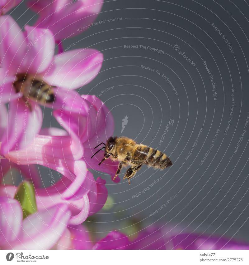 magisch angezogen Umwelt Natur Frühling Pflanze Blume Blüte Frühlingsgefühle Frühblüher Hyazinthe Tier Biene Insekt Honigbiene 2 Blühend Duft süß rosa Ziel