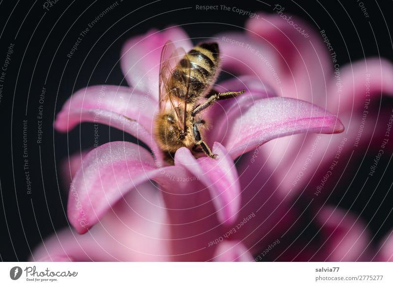 tief eintauchen Umwelt Natur Frühling Sommer Blume Blüte Hyazinthe Garten Tier Nutztier Biene Insekt Honigbiene Blühend Duft ästhetisch süß rosa