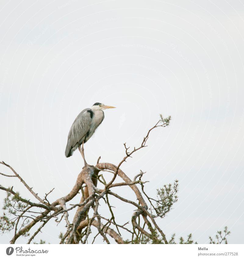 Vorbote Umwelt Natur Pflanze Tier Baum Baumkrone Ast Wildtier Vogel Reiher Graureiher 1 Blick stehen warten frei natürlich grau Pause ruhig Zeit Farbfoto