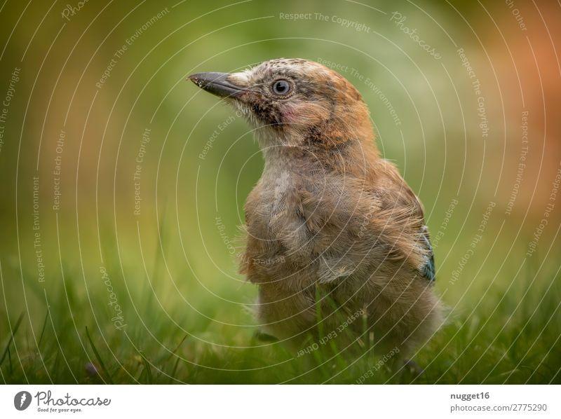 junger Eichelhäher Umwelt Natur Pflanze Tier Sonne Frühling Sommer Herbst Schönes Wetter Gras Garten Park Wiese Wald Wildtier Vogel Tiergesicht Flügel 1