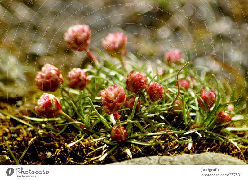 Island Natur Pflanze Umwelt klein Blüte natürlich wild Wachstum Wildpflanze