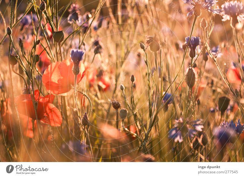 Sommerwiese Umwelt Natur Landschaft Pflanze Schönes Wetter Blume Wildpflanze Wiese Feld Mohn Mohnblüte Kornblume außergewöhnlich natürlich Umweltschutz