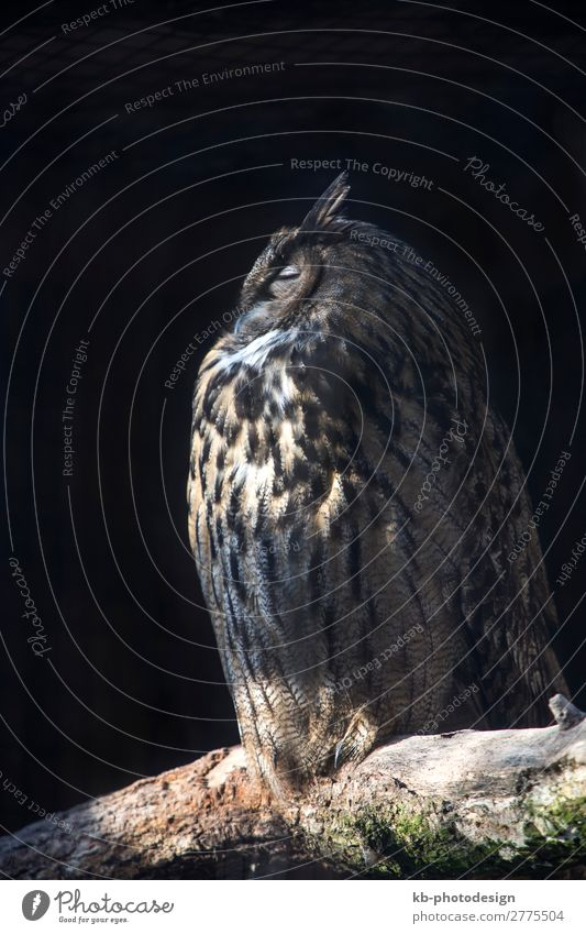 European eagle owl on a tree trunk Tier Uhu 1 sitzen Aviary Tree trunk bird birds Plumage Feathers Feather dress fly Beak Creature Animal Animal welfare forest