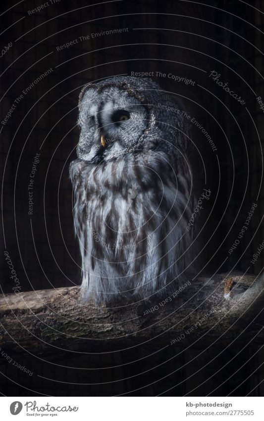 Great Gray Owl on a tree trunk Tier Wildtier Vogel Kauz Bartkauz 1 sitzen codger species owl Strix Aviary Tree trunk bird birds Plumage Feathers Feather dress