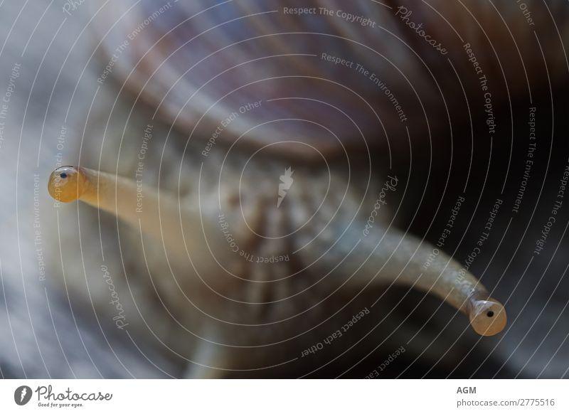 Aug in Aug Tier Wildtier Schnecke Tiergesicht 1 beobachten Bewegung krabbeln außergewöhnlich nah natürlich Neugier rund schleimig braun Tierliebe Gelassenheit