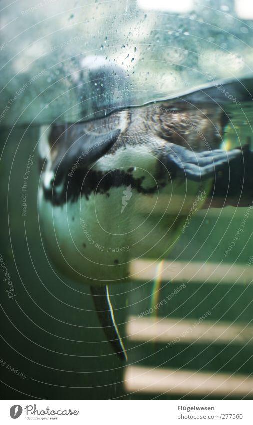 Dreh mir ruhig den Rücken zu Wasser Tier Schwimmen & Baden Fisch tauchen Zoo Bildausschnitt Anschnitt Aquarium Becken Pinguin
