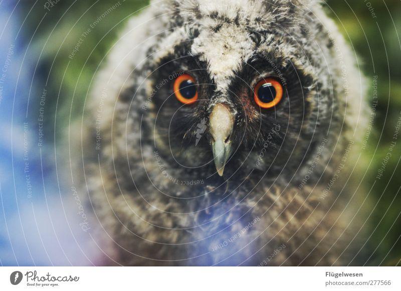 Du kleine Nachteule Tier Wildtier Tiergesicht Flügel Krallen Zoo Streichelzoo 1 füttern exotisch Kraft Eulenvögel Uhu waldkautz Auge Tierjunges Farbfoto