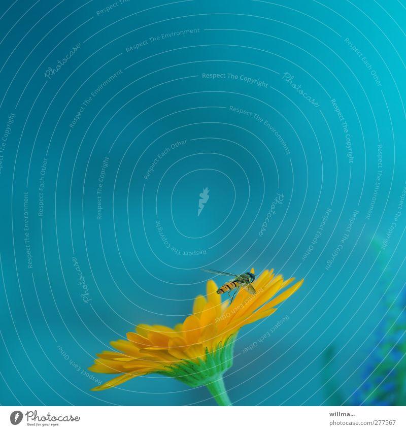 anne theke - der barhocker (I) Natur Pflanze Blume Tier orange fliegen Insekt türkis Blütenblatt Gerbera Nektar Schwebfliege Komplementärfarbe