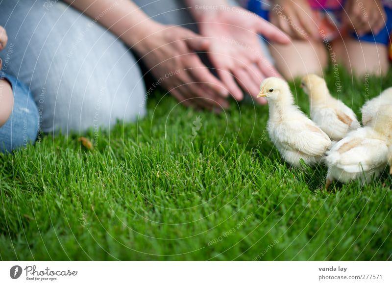 Küken Mensch Kind Hand Sommer Mädchen Tier Wiese Gras Junge Tierjunges Kindheit Freizeit & Hobby Tiergruppe Kindergruppe Landwirtschaft Bauernhof