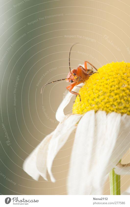 Neugier Natur Pflanze Tier Sommer Blume Blüte Wildpflanze Wiese Feld Käfer 1 klein niedlich gelb orange rot weiß Kamillenblüten Korbblütengewächs Farbfoto