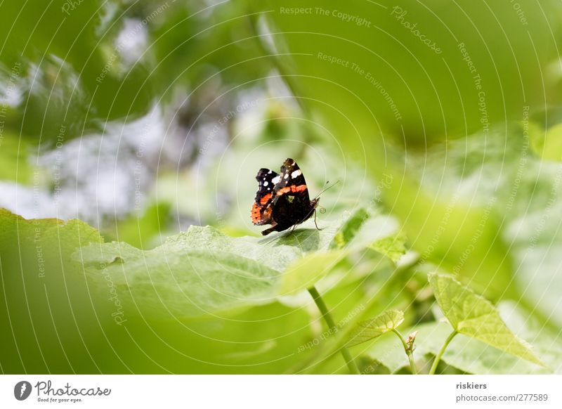 roll up Natur Sommer Tier Blatt Garten Schmetterling Fressen Grünpflanze Admiral