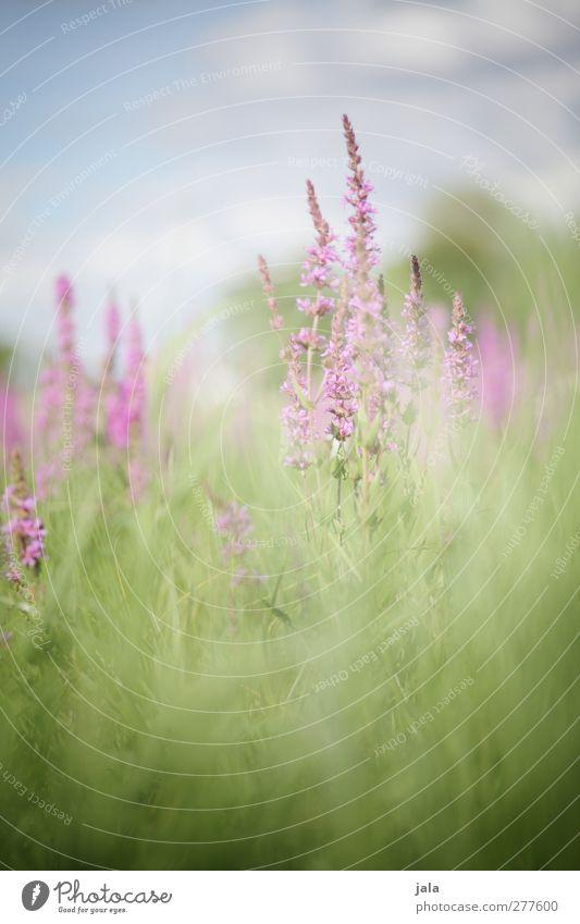 wiese Himmel Natur blau grün Sommer Pflanze Blume Freude Blatt Landschaft Umwelt Wiese Gras Blüte rosa natürlich