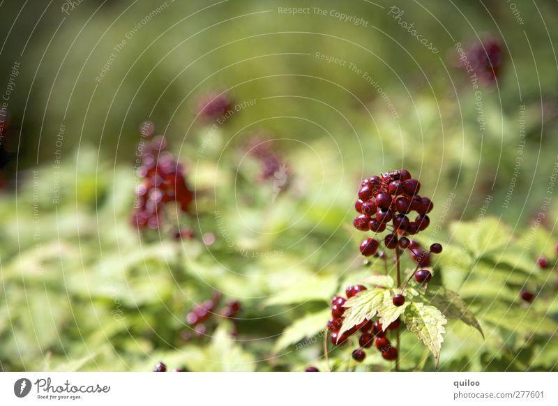 rote Beeren Natur grün schön Pflanze Blatt natürlich glänzend Sträucher Vergänglichkeit Zusammenhalt Duft exotisch Wildpflanze