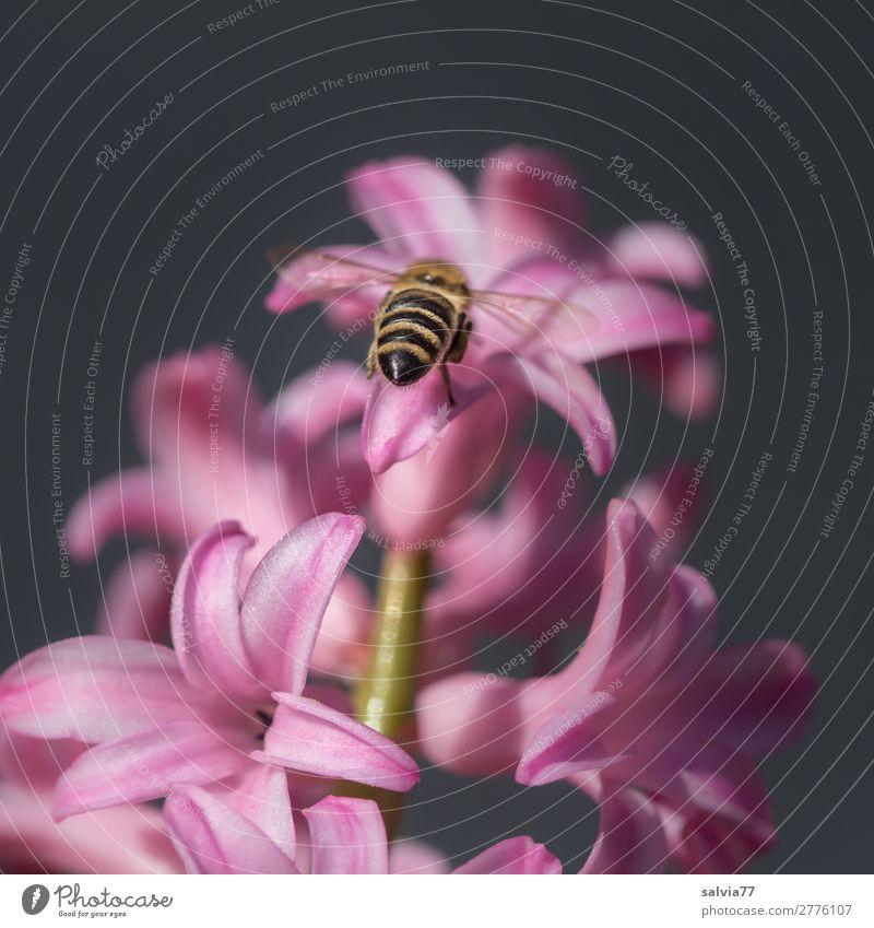 Biene fliegt auf rosa Hyazinthe zu Natur Garten Blüte Pflanze Farbfoto Blume Menschenleer Nahaufnahme Frühling Duft Frühlingsgefühle schön Textfreiraum oben