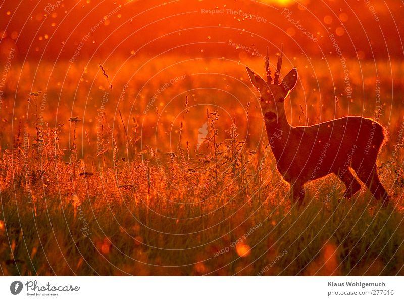 Summer feeling Natur Sommer rot Tier Umwelt Freiheit orange gold Wildtier Schönes Wetter beobachten Jagd Horn Reh Safari