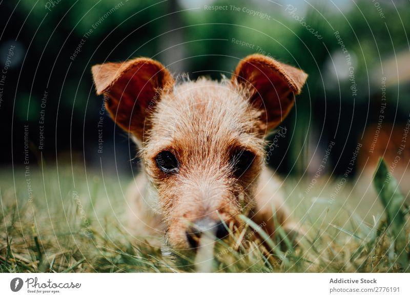Kleiner Hund im Gras Welpe niedlich klein Tier Haustier reizvoll grün heimisch Reinrassig Glück lustig Säugetier Hündchen Park spielerisch Freundschaft Rasen