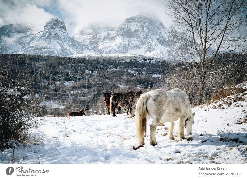 Pferde, die in den Bergen wandern Berge u. Gebirge Schnee Natur Gipfel Landschaft Park schön Aussicht wild Winter Hengst alpin Luft Tag Säugetier heimisch