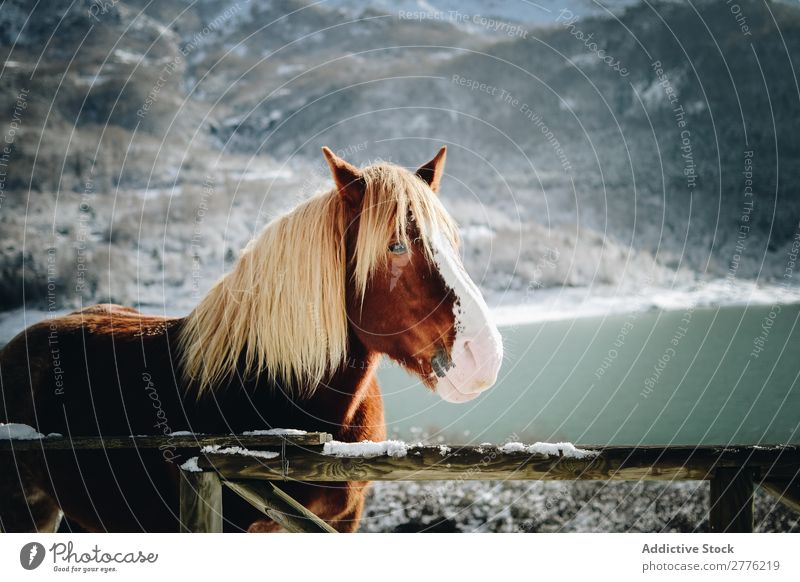 Pferd in den Schneebergen blond Zaun Holz Mähne Berge u. Gebirge Natur Landschaft Park schön Aussicht wild Winter Hengst alpin Luft Tag Säugetier heimisch