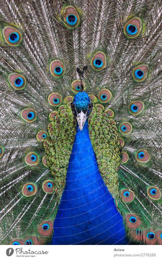 Pfau 1 Tier Haustier Wildtier Vogel Umwelt Farbfoto Tierporträt Vorderansicht Halbprofil Blick nach vorn