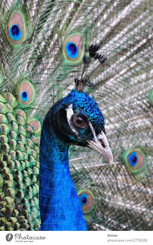 Pfau 2 Tier Haustier Wildtier Vogel 1 blau grün Farbfoto Tierporträt