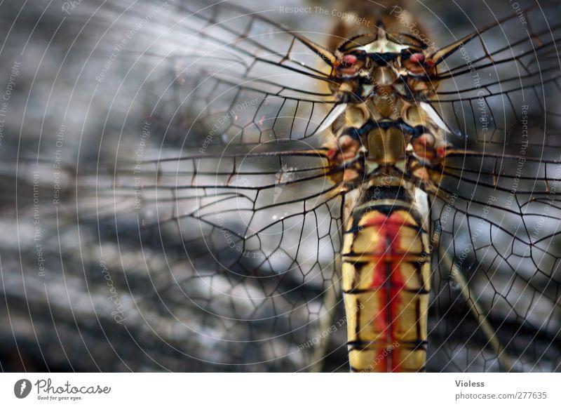 ein schöner Rücken .... Flügel außergewöhnlich muskulös verrückt Flügelansatz Flugapparat Flügeladerung Flugmuskeln Farbfoto Textfreiraum links Unschärfe