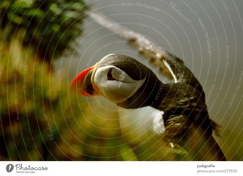 Island Umwelt Natur Pflanze Tier Wildtier Vogel Papageitaucher 1 fliegen schön natürlich niedlich wild mehrfarbig Farbfoto Außenaufnahme Tierporträt Halbprofil