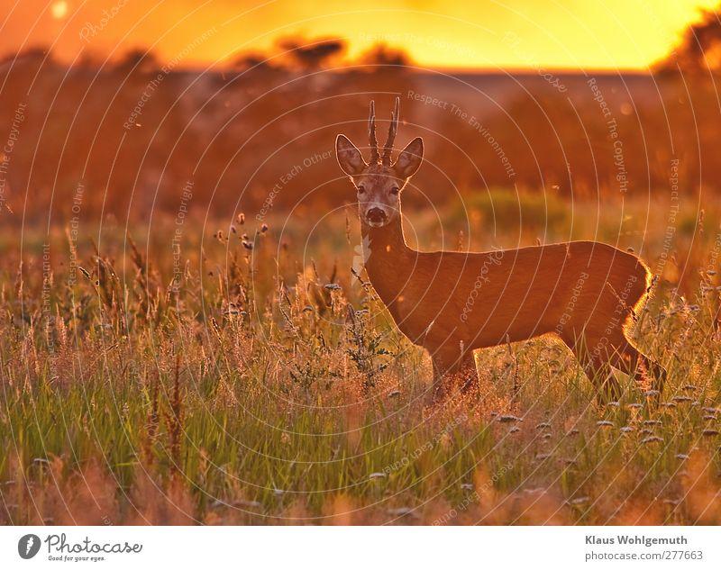 Am Abend mancher Tage grün Sommer rot Tier Wald Landschaft Umwelt Gras Horizont braun orange Feld gold Wildtier wild Idylle