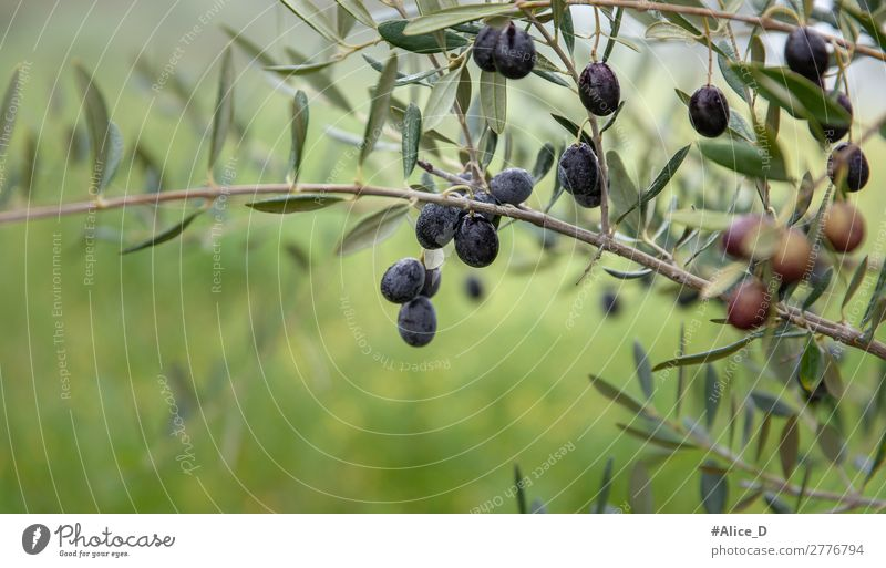 Olivenbaum zweig mit Oliven close up Lebensmittel Ernährung Natur Winter Baum Sträucher Nutzpflanze authentisch frisch Gesundheit natürlich grün genießen Idylle