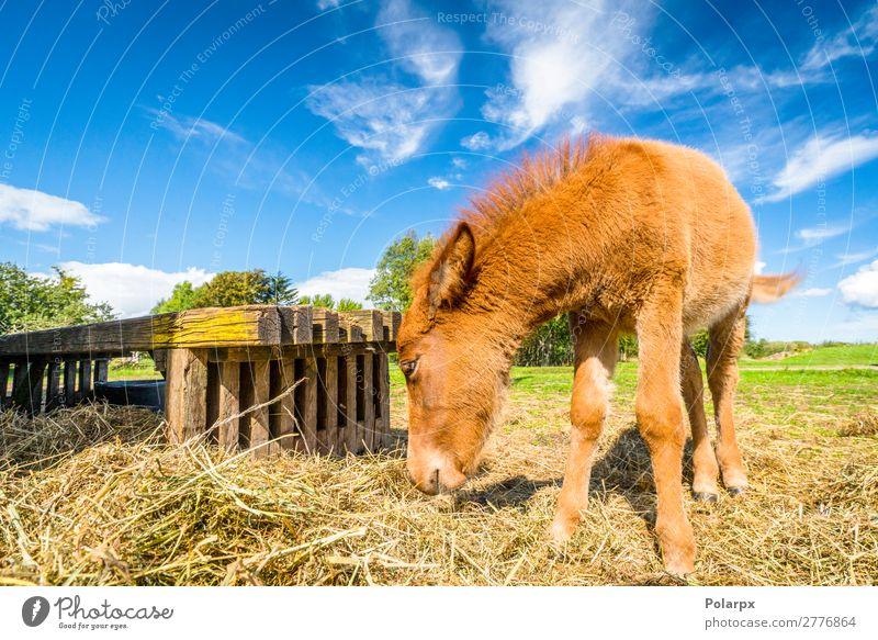 Kleines Pferd frisst Heu auf einem Bauernhof Essen Trinkhalm schön Freiheit Sommer Natur Tier Gras Wiese Haustier Fressen füttern natürlich braun grün schwarz