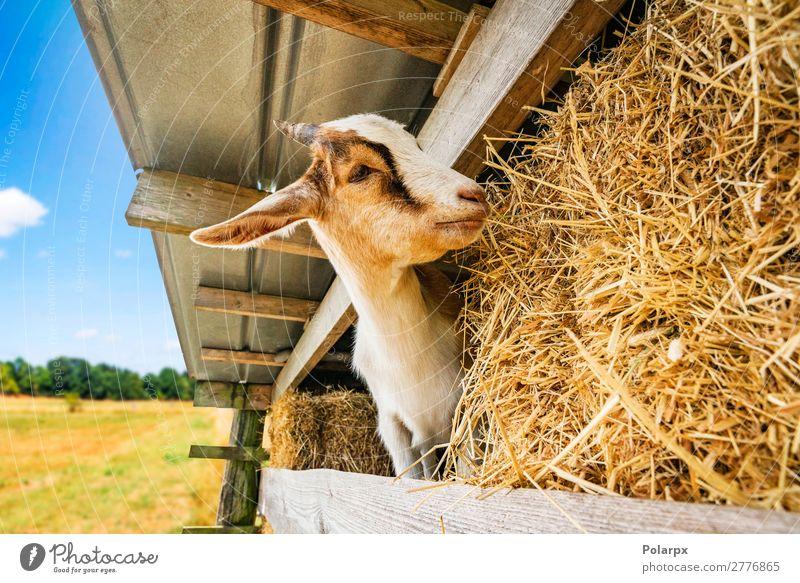 Ziege isst Heu in einer Scheune in einer ländlichen Umgebung Essen schön Gesicht Sommer Natur Landschaft Tier Gras Park Wiese Pelzmantel Haustier Fressen