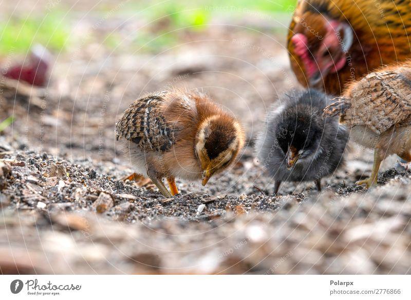 Hühner auf der Suche nach Nahrung auf einem Bauernhof Essen Leben Sommer Garten Ostern Baby Familie & Verwandtschaft Natur Tier Gras Haustier Vogel klein