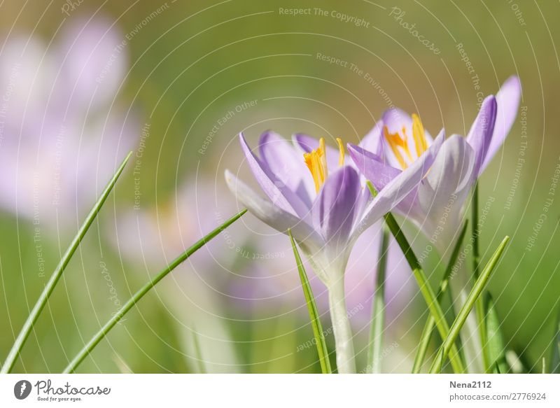 Frühlingsboten Umwelt Natur Pflanze Wetter Schönes Wetter Blume Garten Park Wiese frisch violett rosa Krokusse Februar frühlingsboten Frühlingsgefühle
