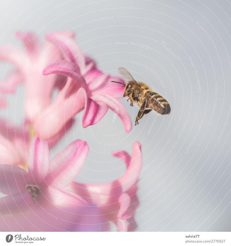 Bienenflug Umwelt Natur Pflanze Tier Frühling Blume Blüte Hyazinthe Garten Nutztier Flügel Honigbiene Insekt 1 Duft fliegen rosa Frühlingsgefühle Ziel