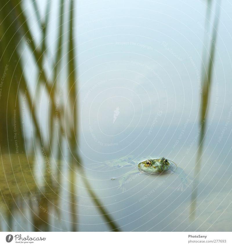 Fröschchen klar Natur grün Tier Coolness Gelassenheit Frosch Teich