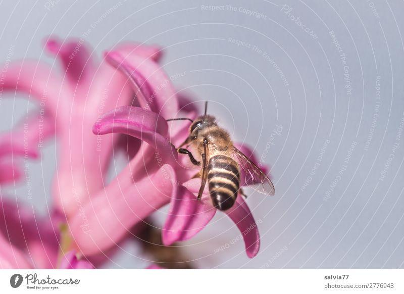 Blütenbesuch Umwelt Natur Frühling Pflanze Blume Hyazinthe Garten Tier Nutztier Biene Insekt Honigbiene Apis 1 Blühend Duft bestäuben fleißig rosa
