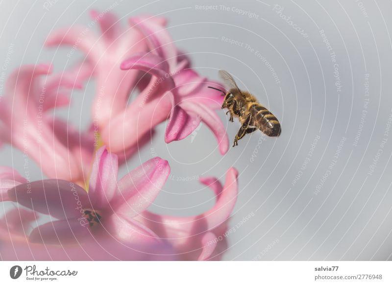 verlockender Duft Umwelt Natur Frühling Pflanze Blume Blüte Hyazinthe Frühblüher Garten Tier Biene Flügel Honigbiene Insekt 1 Blühend fliegen lecker schön rosa