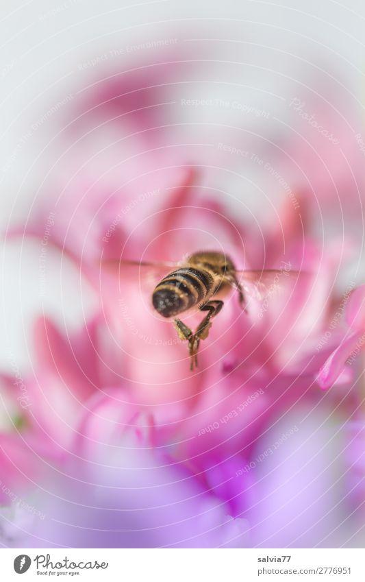 zielstrebig Umwelt Natur Frühling Pflanze Blume Blüte Hyazinthe Garten Tier Nutztier Biene Insekt Honigbiene 1 Blühend Duft fliegen rosa Ziel Summen