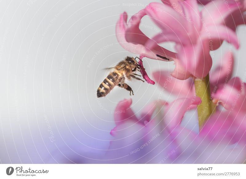 von Blüte zu Blüte Umwelt Natur Frühling Blume Garten Tier Nutztier Biene Insekt Honigbiene Imkerei Nektar Pollen 1 berühren Blühend Duft fliegen rosa