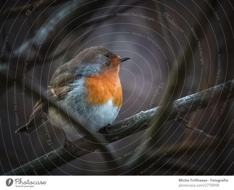 Rotkehlchen in der Dämmerung Natur blau weiß Tier schwarz Auge natürlich orange Vogel leuchten glänzend Wildtier sitzen Feder Sträucher Schönes Wetter