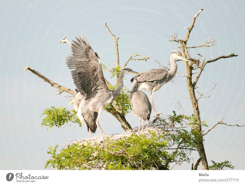 Nicht drängeln! Umwelt Natur Tier Baum Baumkrone Wildtier Vogel Flügel Reiher Graureiher 4 Tiergruppe Tierjunges Bewegung stehen Zusammensein natürlich blau