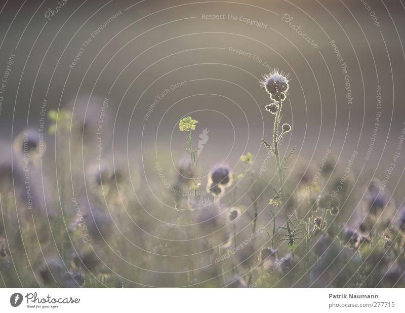 Bienenfreund Umwelt Natur Landschaft Pflanze Sonnenaufgang Sonnenuntergang Sommer Klima Schönes Wetter Blüte Nutzpflanze Feld atmen leuchten verblüht ästhetisch